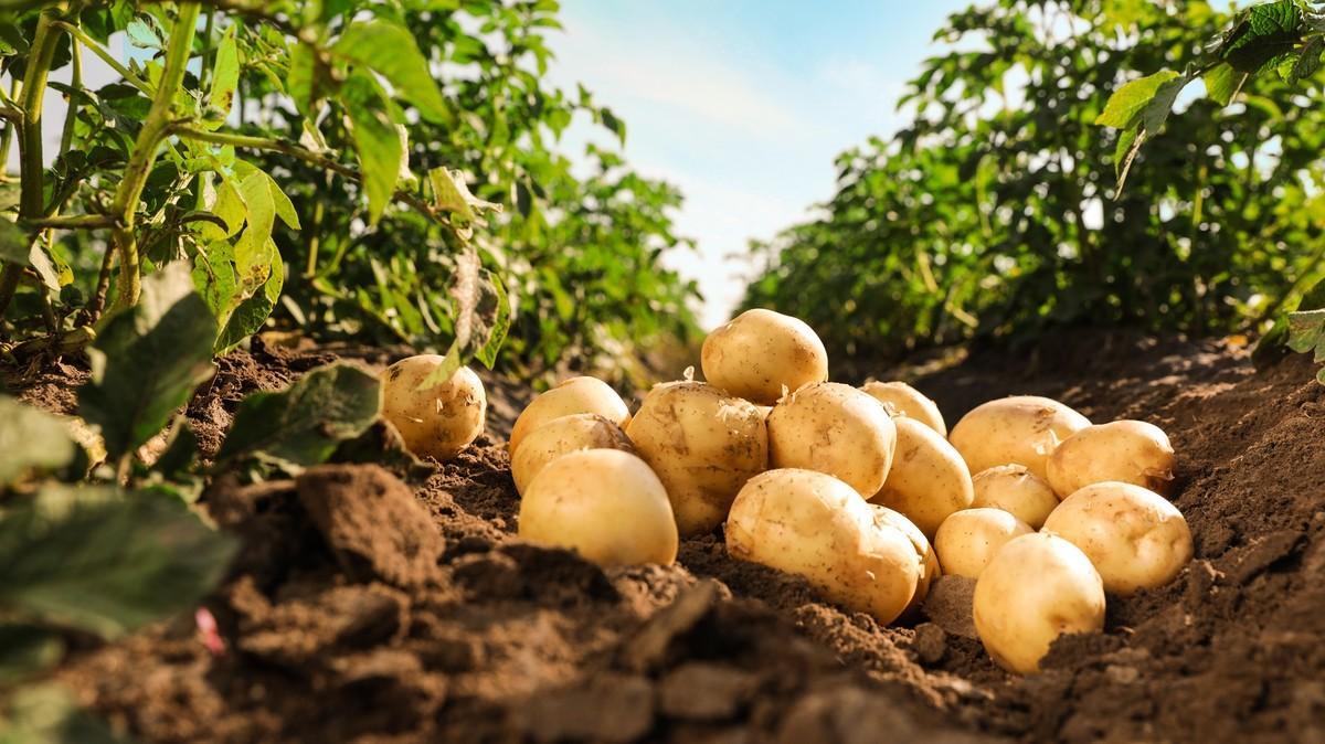 Азербайджан в этом году экспортировал картофель в рекордных объемах