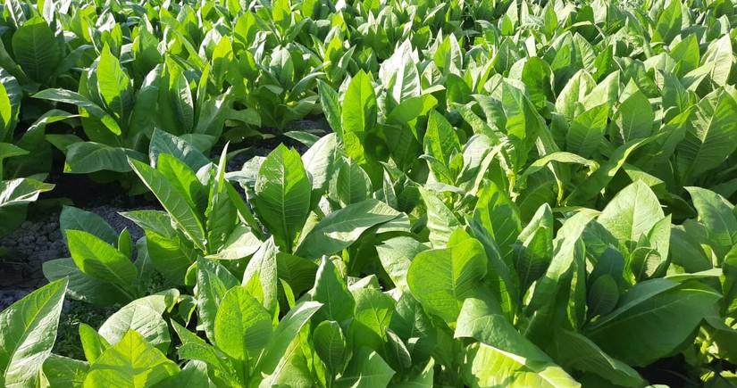 İnam Kərimov: Ölkədə tütünün əkin sahələri və istehsalı artıb