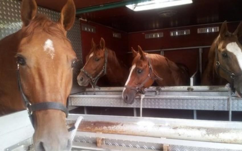 Azərbaycandan qanunsuz olaraq Qazaxıstana 30-dan çox at aparılmasının qarşısı alınıb