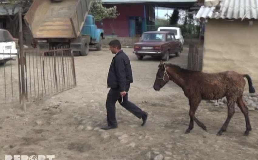 DİN Cəlilabadda 50 baş atın oğurlanması ilə bağlı yayılan xəbərlərə münasibət bildirib