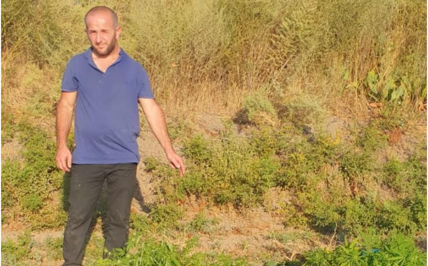 Saatlıdanarkotik tərkibli bitkilərin kultivasiyası ilə məşğul olan şəxsiş başında saxlanılıb
