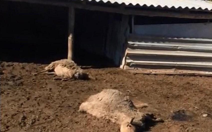 Cəlilabadda elektrik cərəyanı xırda buynuzlu ev heyvanlarını vuraraq öldürüb - VİDEO