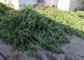 Yevlaxda çətənə bitkisinin satışı ilə məşğul olan şəxs saxlanılıb