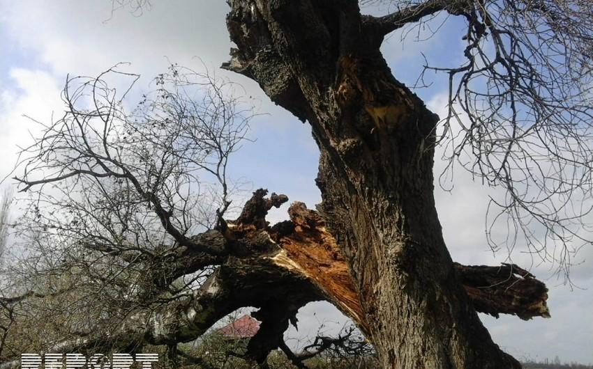 Güclü külək Tərtərdə yüz yaşlı çinar ağacını aşırıb - FOTO - VİDEO