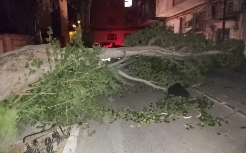 Bakıda güclü külək ağacı avtomobillərin üstünə aşırıb - FOTO - VİDEO - YENİLƏNİB