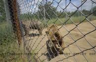 Любимые обитатели Тбилисского зоопарка – подарок Азербайджана - ВИДЕОРЕПОРТАЖ