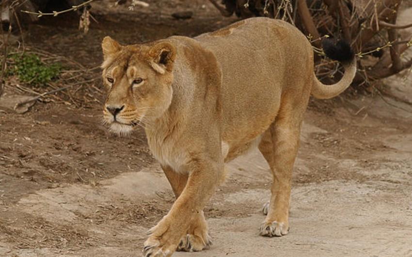 Tbilisi zooparkından qaçan pələng Qori ətrafında axtarılır