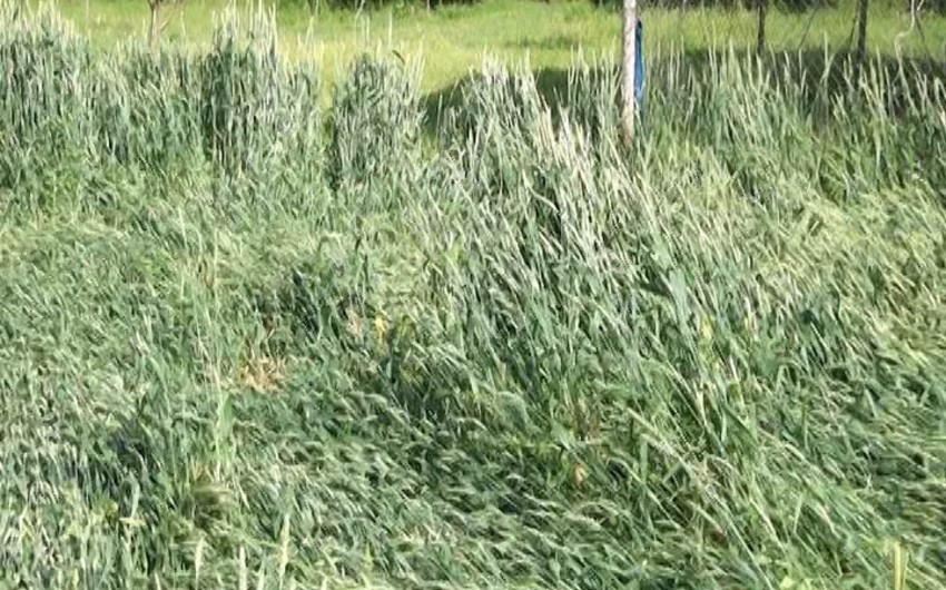 Ağdamda yağış və sel suları taxıl zəmilərini yararsız hala salıb - VİDEO