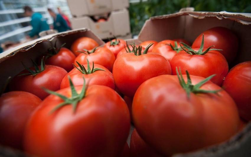 Kənd Təsərrüfatı Nazirliyi: Rusiyada Türkiyə pomidorlarına tələbat azalıb