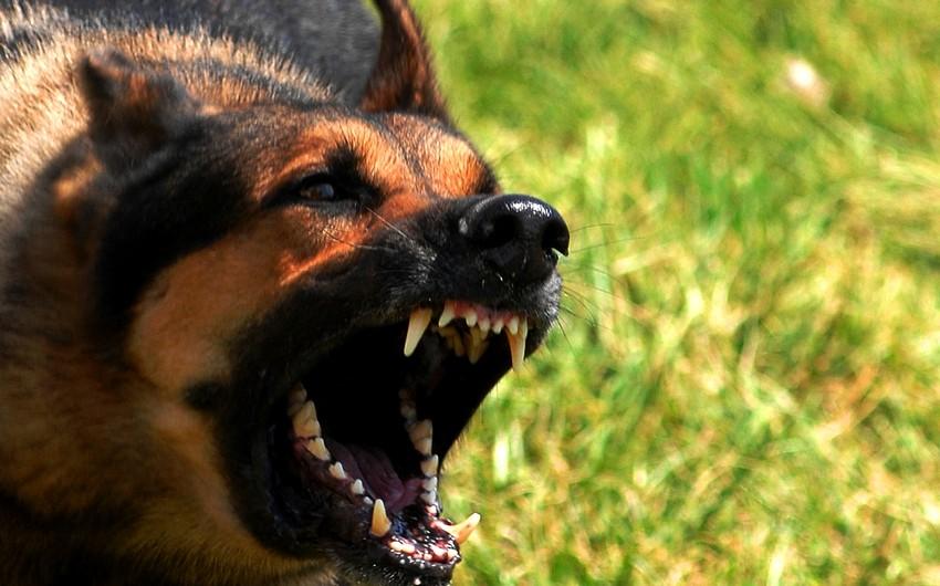 В Баку собака откусила ухо 3-летнему ребенку