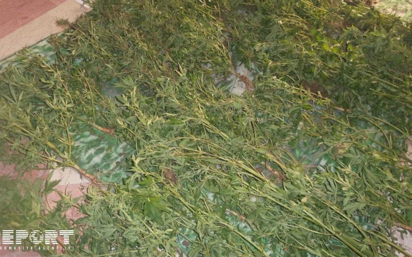 Во дворе жителя Сабирабада обнаружено 80 кустов конопли