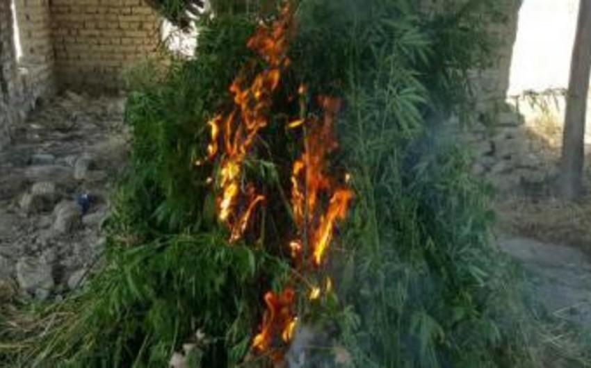 В Исмаиллы уничтожено около 3 тонн растений с наркотическими свойствами