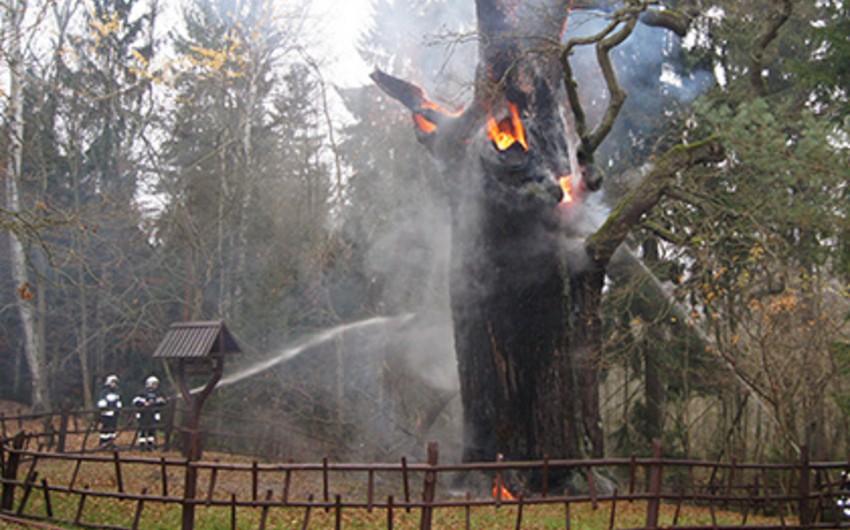 Polşada yaşı 750 il olan palıd ağacı yanıb