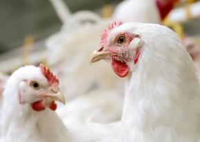 Azərbaycana gətirilən antibiotiklərin quşçuluq təsərrüfatlarında rasional istifadəsi araşdırılacaq