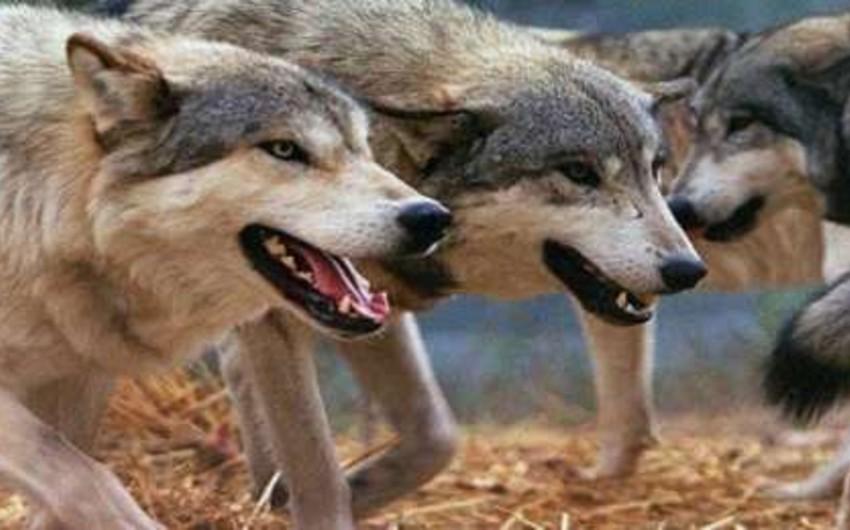 Bərdədə canavarlar ev heyvanlarına hücum edib