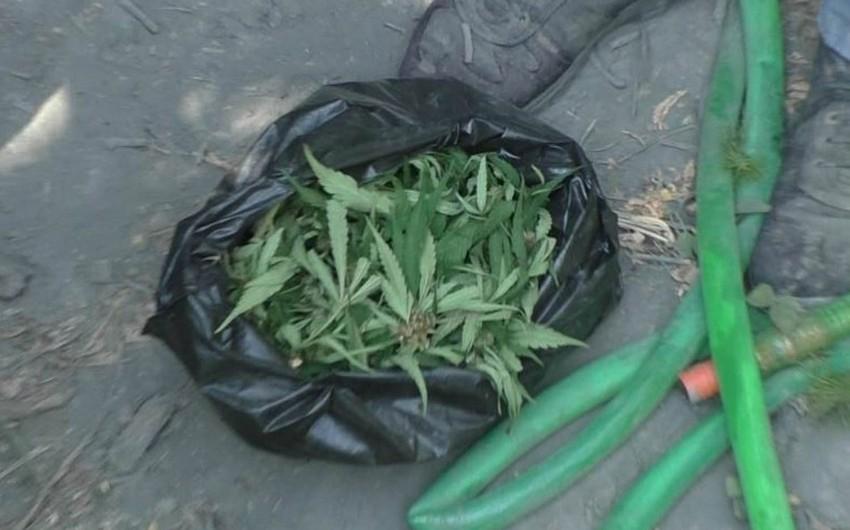 Zaqatalada narkotik becərən Balakən sakinləri ifşa olunub - FOTO