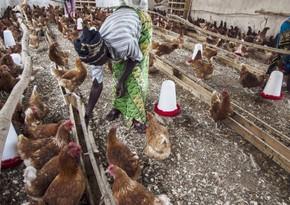 В Гане зафиксировали вспышку птичьего гриппа