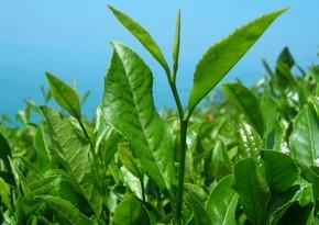 Azərbaycan çay idxalını 1 %-ə yaxın azaldıb