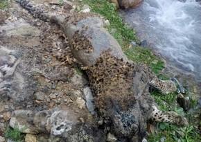 Ordubad dağlarında bəbir cəsədi aşkarlanıb