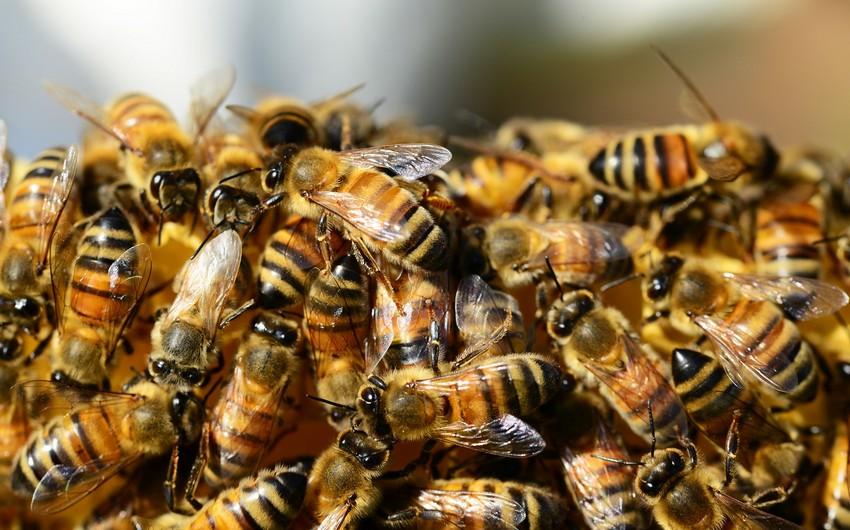 В Азербайджане зафиксирована массовая гибель пчел