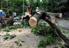 Sabirabadda ağacların qanunsuz kəsilməsi ilə bağlı cinayət işi açılıb