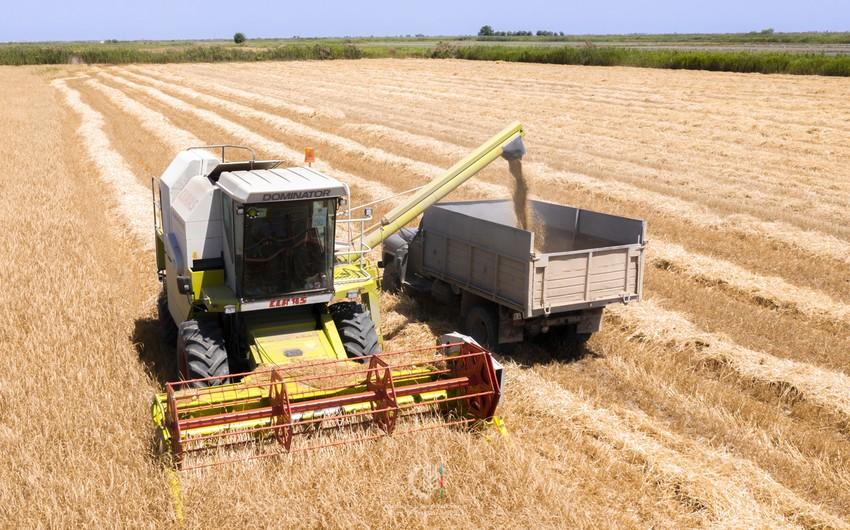 FAO qlobal taxıl yığımı proqnozunu 25% azaldıb