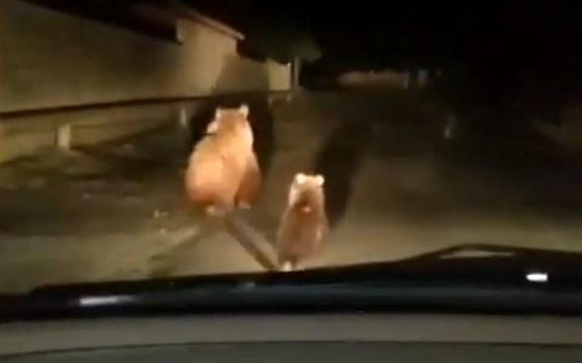 Balakəndə ayılar peyda olub