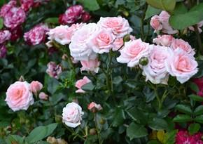 В Нахчыване расширят посевные площади роз