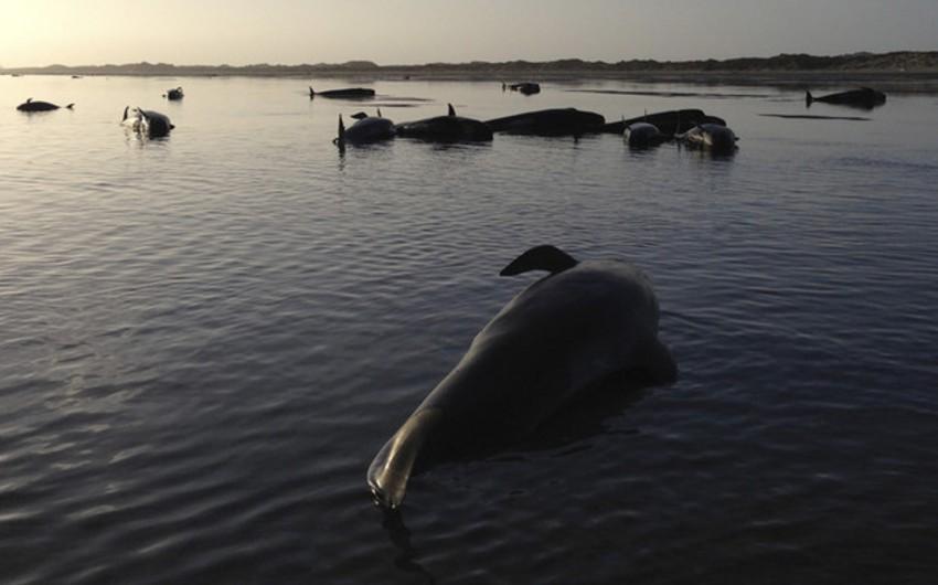 Yeni Zelandiyada 100-dən çox balina özünü sahilə ataraq intihar edib