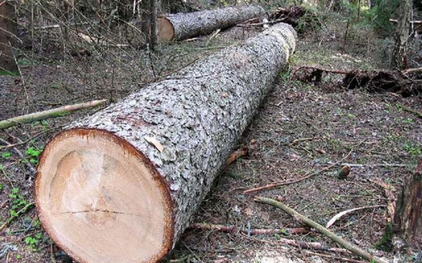 Füzulidə 17 qovaq ağacı kəsilib