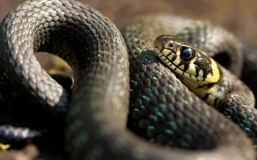 Snake venom component protects against COVID-19