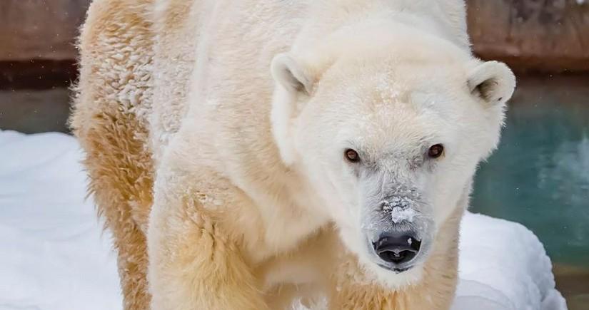 В США умер самый возрастной белый медведь в Северной Америке