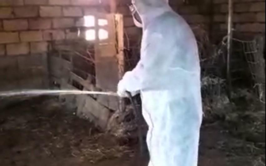 Kürdəmirdə xırdabuynuzlu heyvanların tələf olmasının qarşısı alınıb