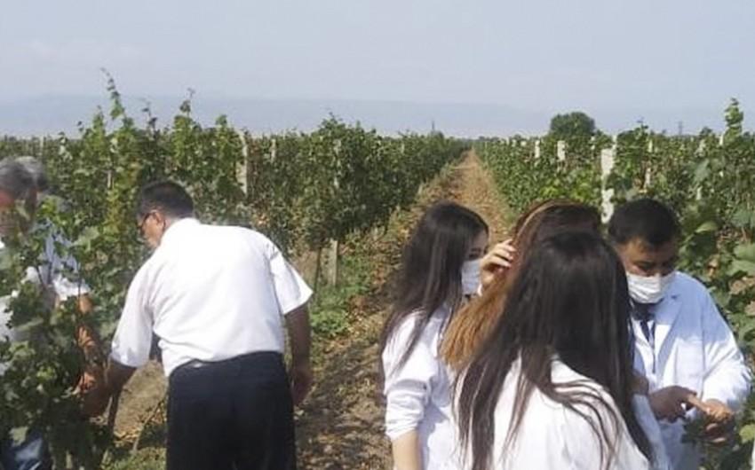 AQTA əməkdaşları üzüm bağlarında fitosanitar monitorinqlər həyata keçirib