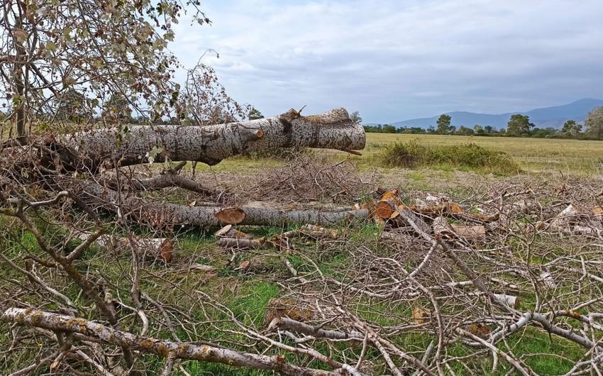 Quru ağacların kəsilməsi barədə rəsmi açıqlama
