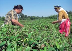 FAOAzərbaycanda aqrar sahədə çalışan qadınlara dəstək göstərəcək
