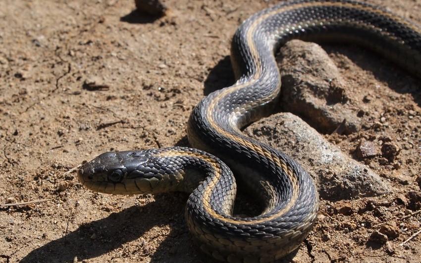 Жительницу Кюрдамира ужалила змея