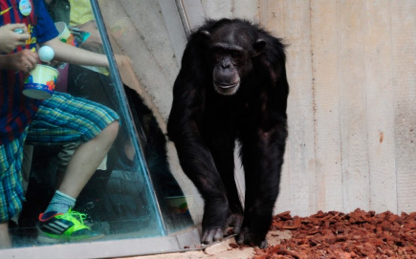 ABŞ-da məhkəmə şimpanzeni şəxsiyyət kimi tanımaqdan imtina edib
