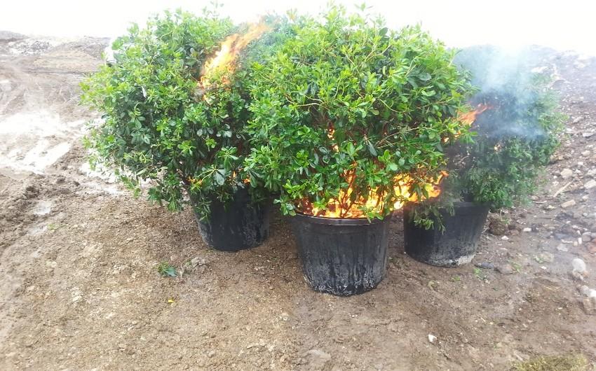 İtaliyadan Azərbaycana idxal edilmiş dekorativ bitkilər məhv edilib