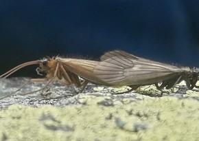 Новый вид насекомого назван в честь коронавируса