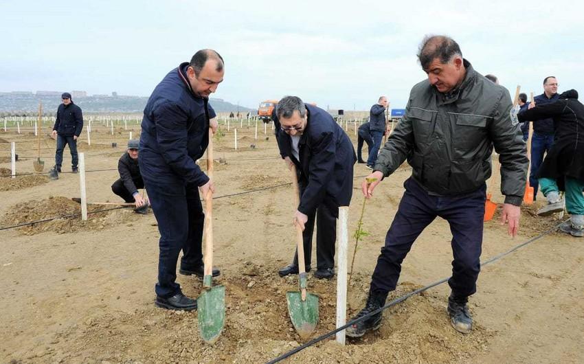 Nazirlər Kabineti Aparatının əməkdaşları ağac əkiblər