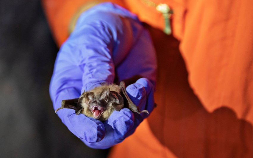 Can humans transmit Covid-19 to bats, and other wildlife?