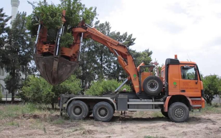 Глава агентства: При пересадке деревьев следует обращаться в соответствующие учреждения