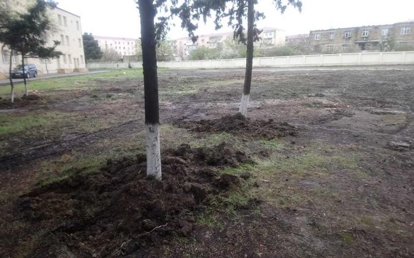 Sumqayıtda ağacların köçürülməsinin səbəbləri açıqlandı