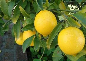 Lənkəranda 5 000 ədəd limon oğurlanıb