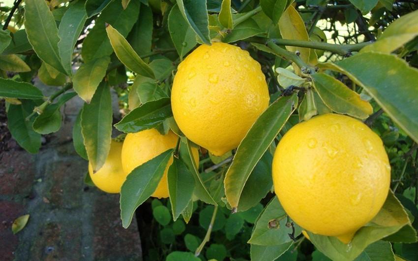 В Лянкяране задержаны мужчины, укравшие цитрусовые плоды