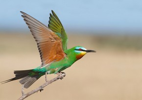 Azerbaijan - birders' breathtaking destination