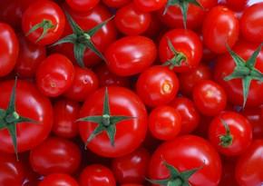 Xaçmazda fermerlərə pomidor toxumu təqdim olunub