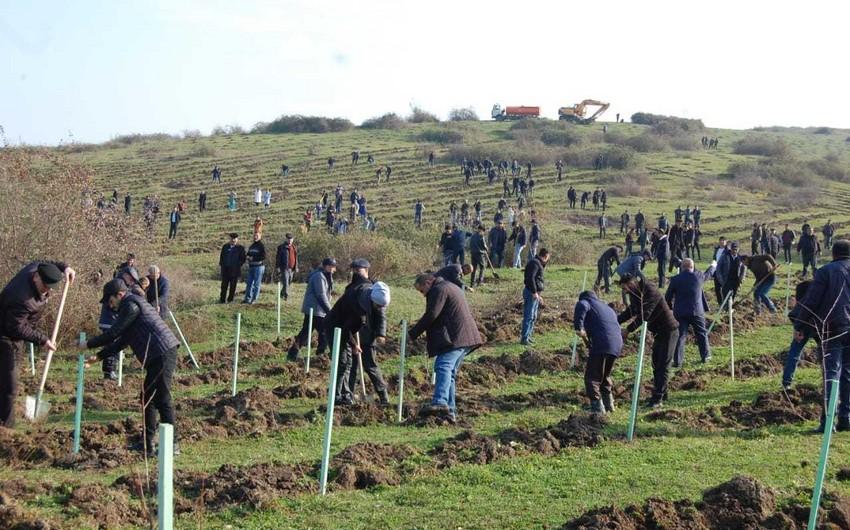 Masallıda açıq meşə fondu ərazilərinə ağaclar əkilib - VİDEO - YENİLƏNİB