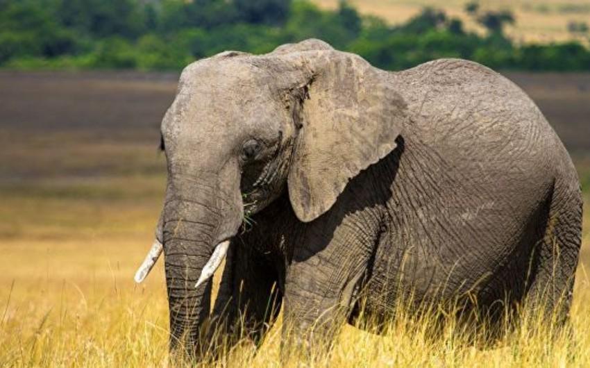 В Ботсване продолжается гибель слонов по неизвестным причинам